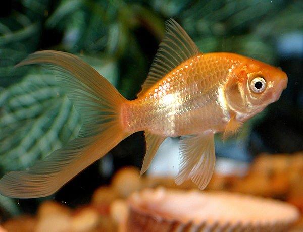 pez cometa para acuario, pez cometa pecera, pez cometa pequeño, pez cometa pierde color