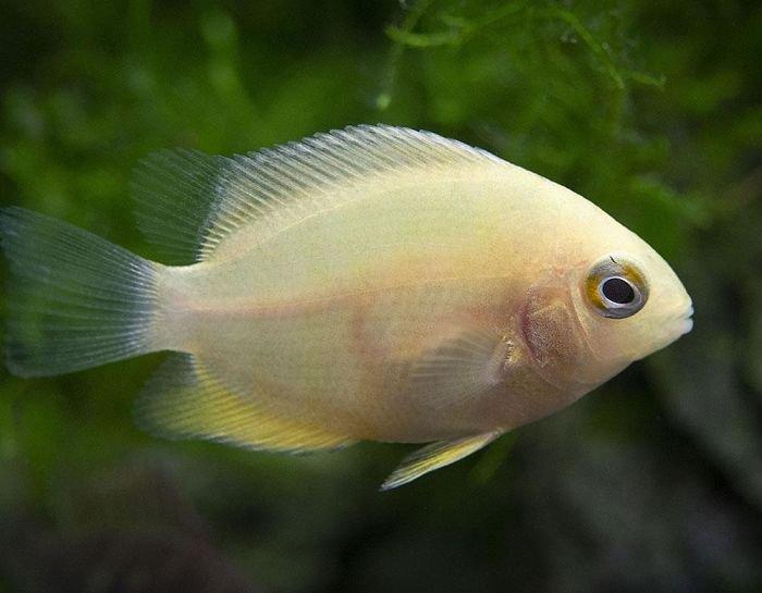 pez durazno que es, pez durazno red dragon, pez durazno reproduccion