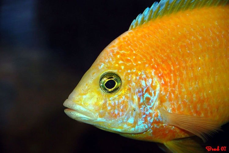 aulonocara baenschi. aulonocara maylandi, aulonocara firefish, aulonocara calico, aulonocara eureka,