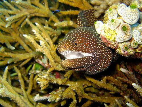 anguila morena ataque, anguila morena caracteristicas, anguila morena cazando, anguila morena cebra