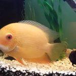 pecera pez durazno, pez durazno ficha tecnica,pez durazno tamaño