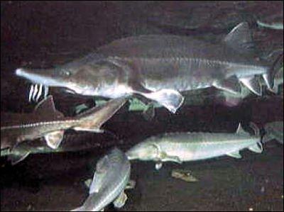 esturion beluga imagenes