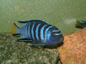 mbunas africanos, especies de mbunas, acuario de mbunas, mbunas en acuario, mbunas hembras