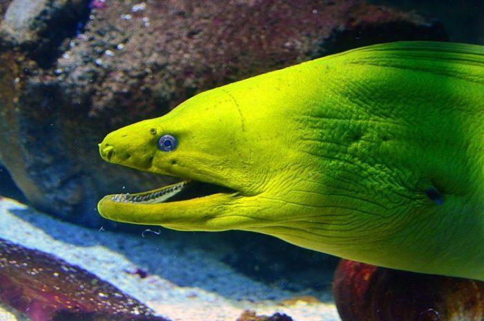 anguila morena black desert, anguila o morena, anguila electrica morena, anguila mar morena, anguila morena alimentacion