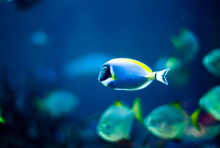 pez cirujano ojos azules, pez cirujano velocidad, pez cirujano reproduccion, pez cirujano respiracion, pez marino cirujano leucosternon