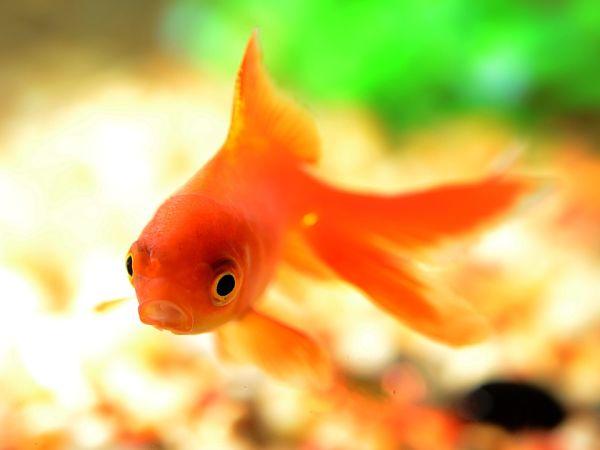pez cometa cuanto vive, pez cometa de acuario, pez cometa de cola, pez cometa en el fondo, pez cometa especie