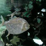 pez dolar acuario, pez dolar cuidados, comida pez dolar, pez de dolar,pez dolar agua dulce