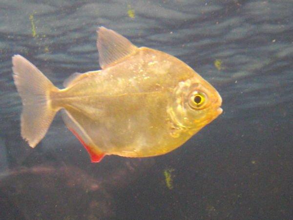 pez dolar alimentacion, pez dolar caracteristicas. pez dolar diferencia entre macho y hembra,
