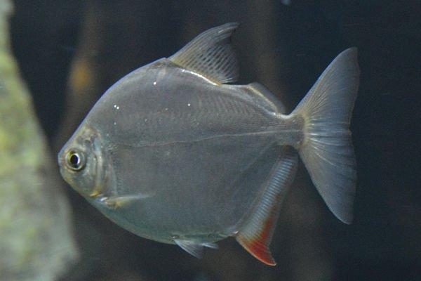 pez dolar macho hembra, pez dolar tamaño, pez dolar videos