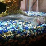 pez dragon acuario, pez dragon chino compatibilidad, pez dragon chino acuario, pez dragon de agua dulce, pez dragon de acuario