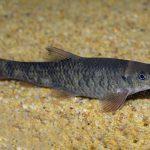 como criar peces garra rufa, peces garra rufa reproduccion, pez garra rufa reproduccion,peces garra rufa madrid,peces garra rufa peligros