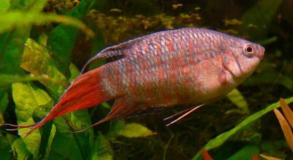 pez paraiso