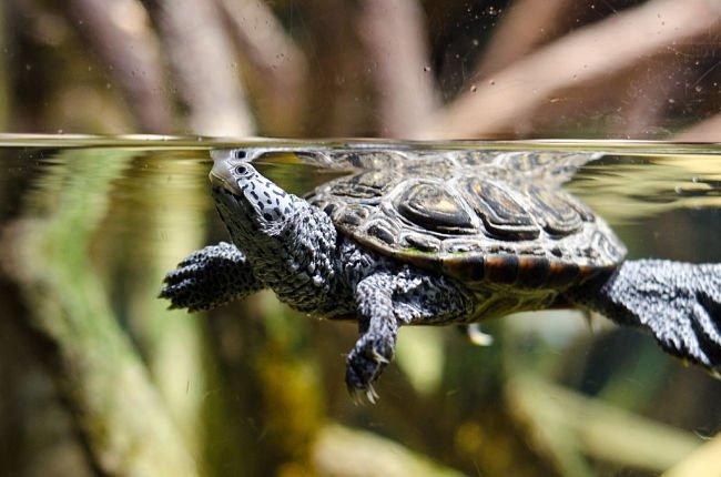 tortuga para mi acuario, tortugas de acuario cuanto viven, tortugas de acuario reproduccion, tortugas para acuario agua dulce