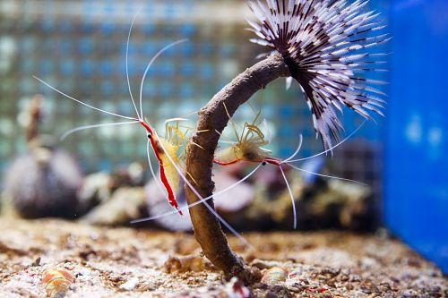 Camarón limpiador del Pacífico