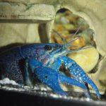 langosta azul acuario, langosta azul cuidados, langosta azul acuario agua dulce