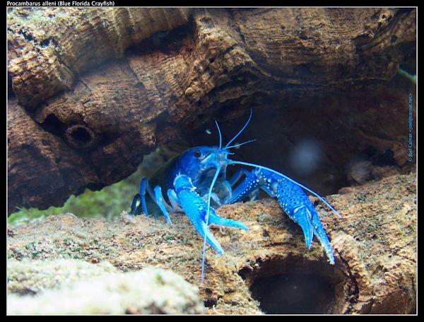 langosta azul animal, langosta azul bebe, langosta azul características, langosta azul compatibilidad