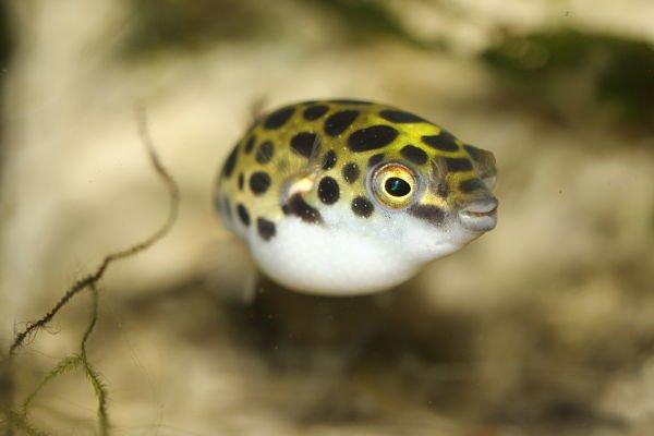 pez globo de agua dulce precio,pez globo de agua dulce venta, peces globo de agua dulce cuidados