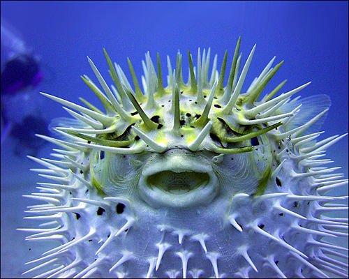Fotos del pez erizo