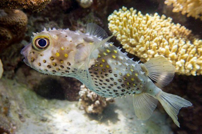 como se desplaza el pez erizo