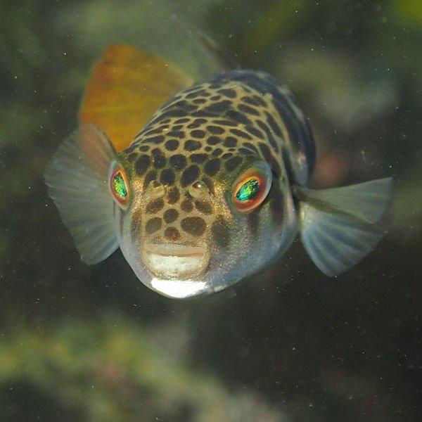 peces globo agua dulce acuario, pez globo agua dulce acuario comunitario,pez globo de agua dulce acuario