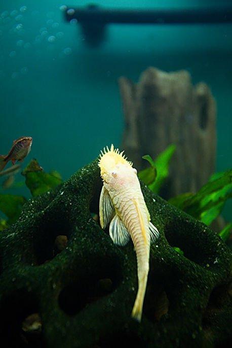 Plecos albino
