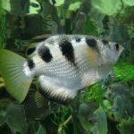 pez arquero acuario, pez arquero alimentacion, pez arquero caracteristicas, pez arquero habitat