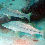 fotos del pez róbalo