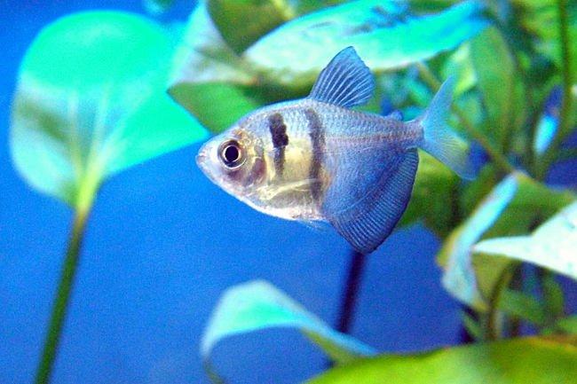 pez monjita nombre científico, pez monjita oro, pez monjita preñada, que come el pez monja