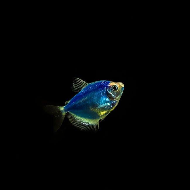 pez monja es agresivo, pez monja fosforescente, pez monja huevos, pez monja necesita oxigeno, pez monja neon macho y hembra