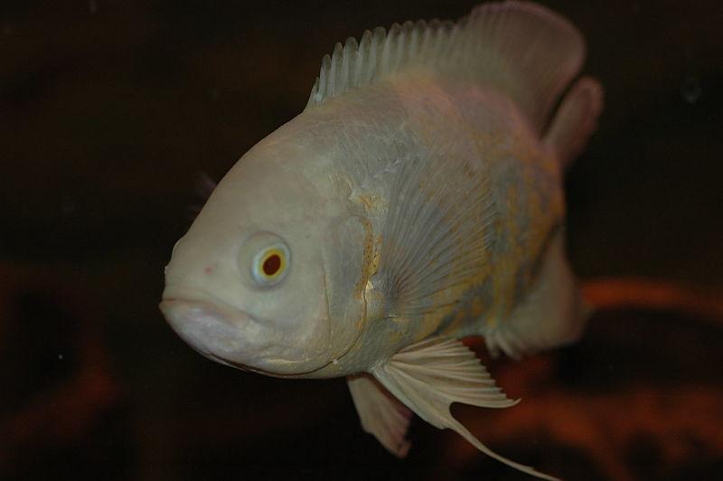 Pez oscar albino