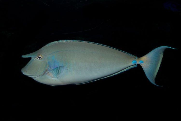 Fotos del pez unicornio, Imágenes del pez unicornio