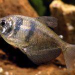 peces monja de colores, peces monjita albina, como criar pez monja, como cuidar pez monja