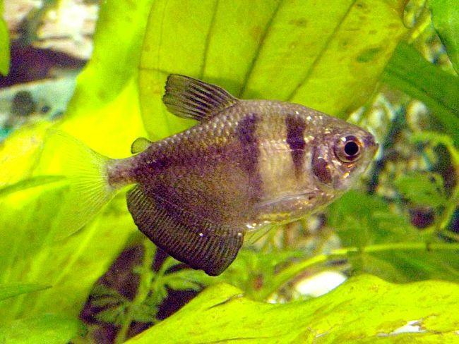 como saber si mi pez monja esta embarazada, como saber si un pez monja esta embarazada, los peces monja necesitan oxigeno
