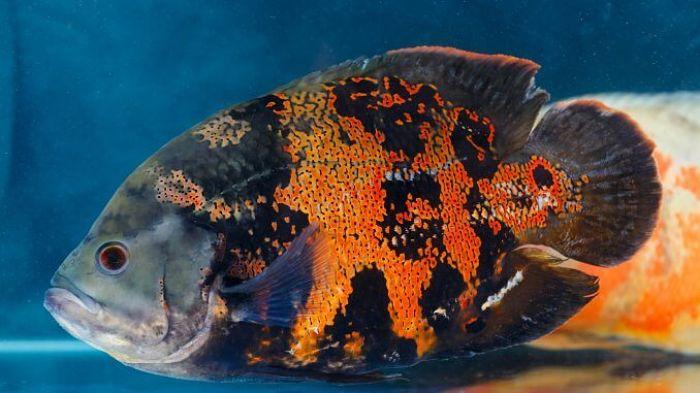 pez oscar cobre