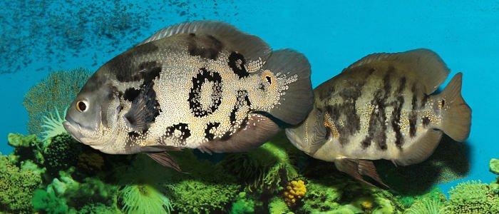 pez oscar tigre
