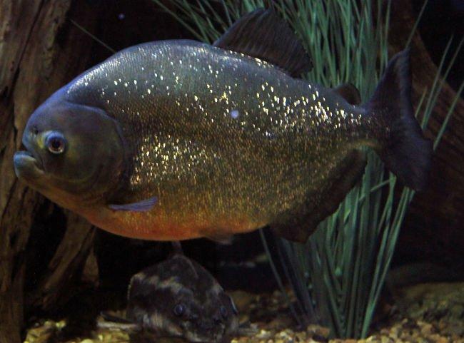 pez pacu imagenes, animal pez pacu,pez pacu nombre cientifico