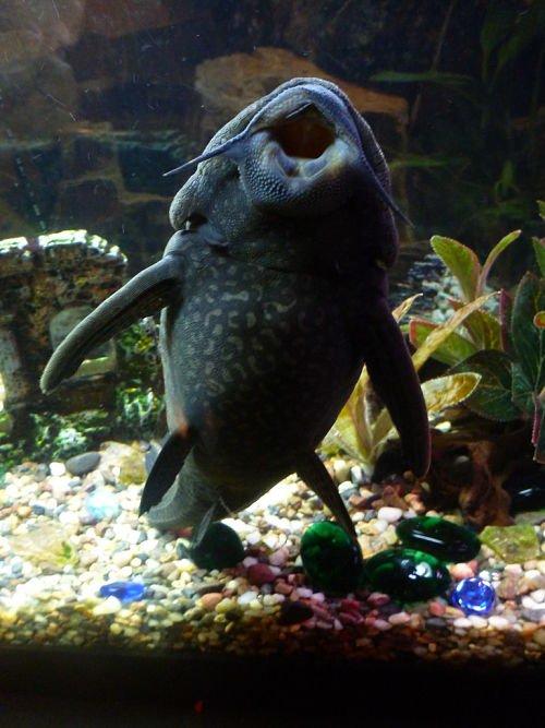 plecostomus en agua fria,plecostomus negro con puntos blancos, plecostomus no crece, plecostomus ojos azules,plecostomus oxigeno, plecostomus para estanque
