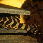 plecostomus venenoso, plecostomus vientre hinchado,como son las plecostomus , plecostomus adulto, plecostomus como peces, plecostomus como se reproducen