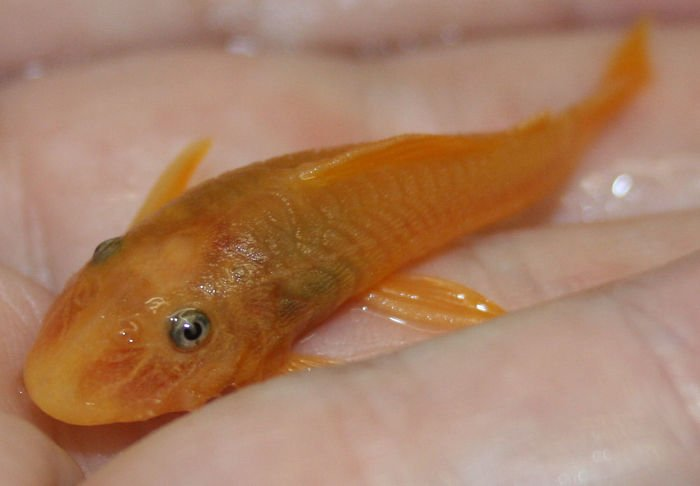 plecostomus para pecera, plecostomus pez, plecostomus pez cuidados, plecostomus plecostomus, plecostomus que no crece, plecostomus se come, plecostomus se muere
