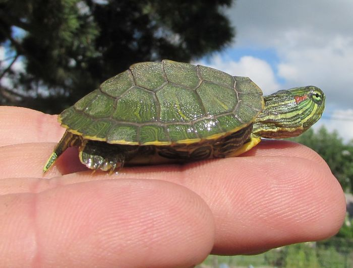 comida para tortugas de orejas rojas bebes, como alimentar una tortuga de orejas rojas, como cuidar una tortuga de orejas rojas bebe, tortuga de orejas rojas caracteristicas