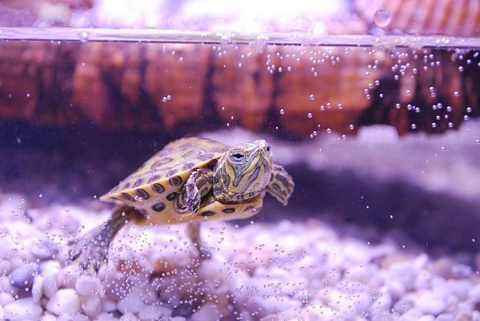 peces compatibles con tortuga de orejas amarillas, porque mi tortuga de orejas amarillas no come, que come la tortuga de orejas amarillas, tortuga de orejas amarillas que comen