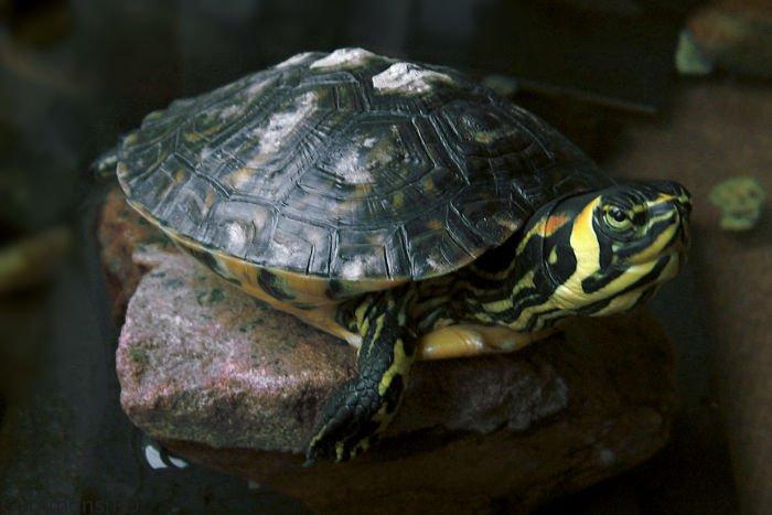 fotos de tortuga orejas amarillas, las tortugas de orejas amarillas hibernan, las tortugas de orejas amarillas invernan, mi tortuga de orejas amarillas no come