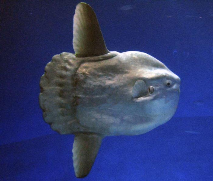 pez luna mola mola