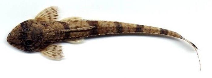 Dasyloricaria filamentosa