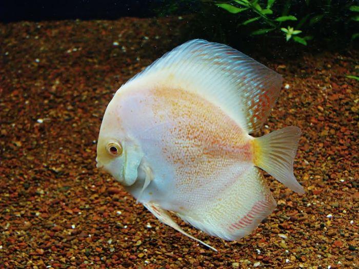 pez disco en acuario plantado,temperatura acuario para peces disco,pez disco acuario, peces disco acuario 60 litros, acuario 120 litros con peces disco