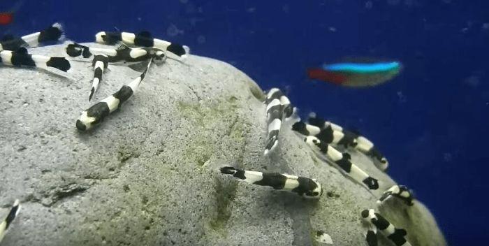 pez locha panda