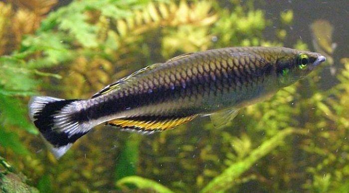 Imagenes del pez espiga