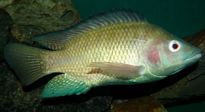 Fotos de tilapia, imagenes de tilapia, foto de tilapia, imagen de pez tilapia
