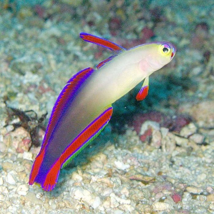 pez dardo