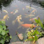 comida para peces de estanque, alimentos para peces de estanque
